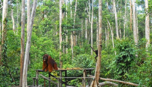 Orangutans in Borneo: A Guide to Tanjung Puting National Park