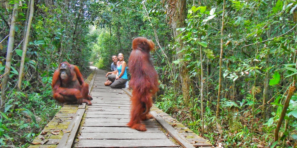 Orangutans in Borneo: A Guide to Tanjung Puting National ...
